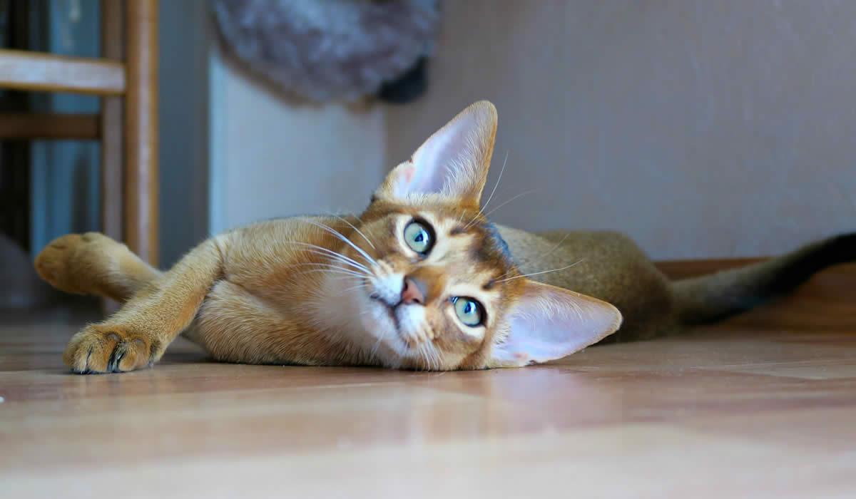 Che carattere ha il gatto Abissino