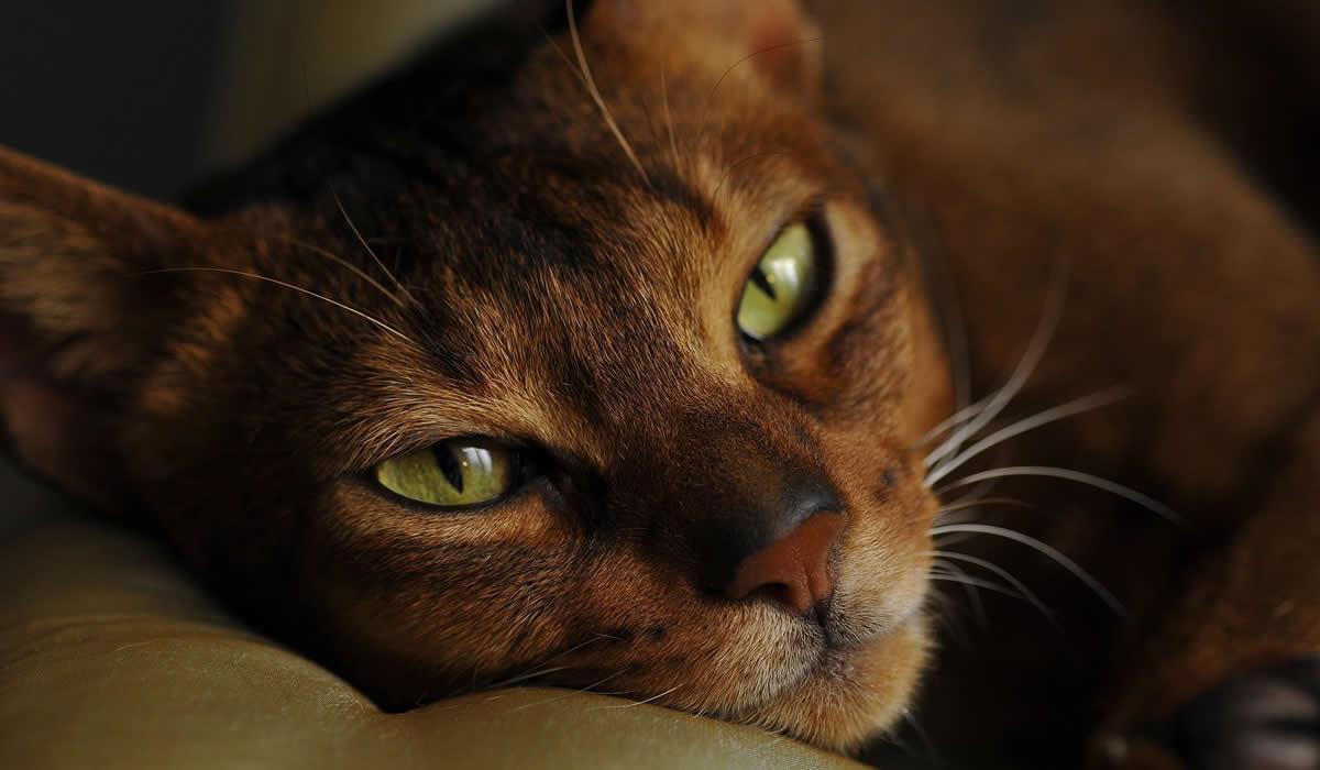 Immagini del gatto Abissino