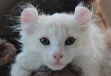 Caratteristiche e informazioni sul gatto American Curl