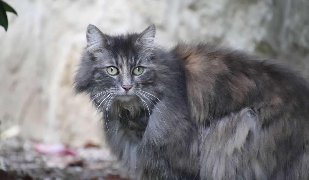 Gatto Angora Turco, caratteristiche e prezzi