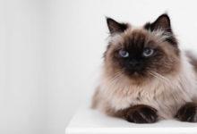 Informazioni e dettagli del gatto Balinese, siamese a pelo lungo
