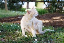 Prevenire e debellare le pulci nel gatto consigli utili