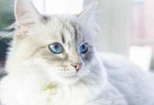 Caratteristiche e carattere del gatto Neva Masquerade