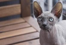 Informazioni e caratteristiche del gatto Sphynx