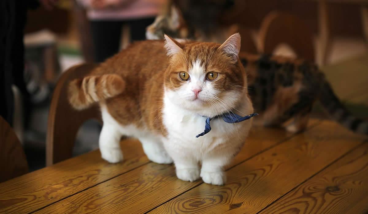 Informazioni e caratteristiche del gatto Munchkin