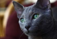 Informazioni e caratteristiche del gatto Blu di Russia