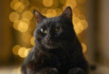 Informazioni e caratteristiche del Gatto Bombay