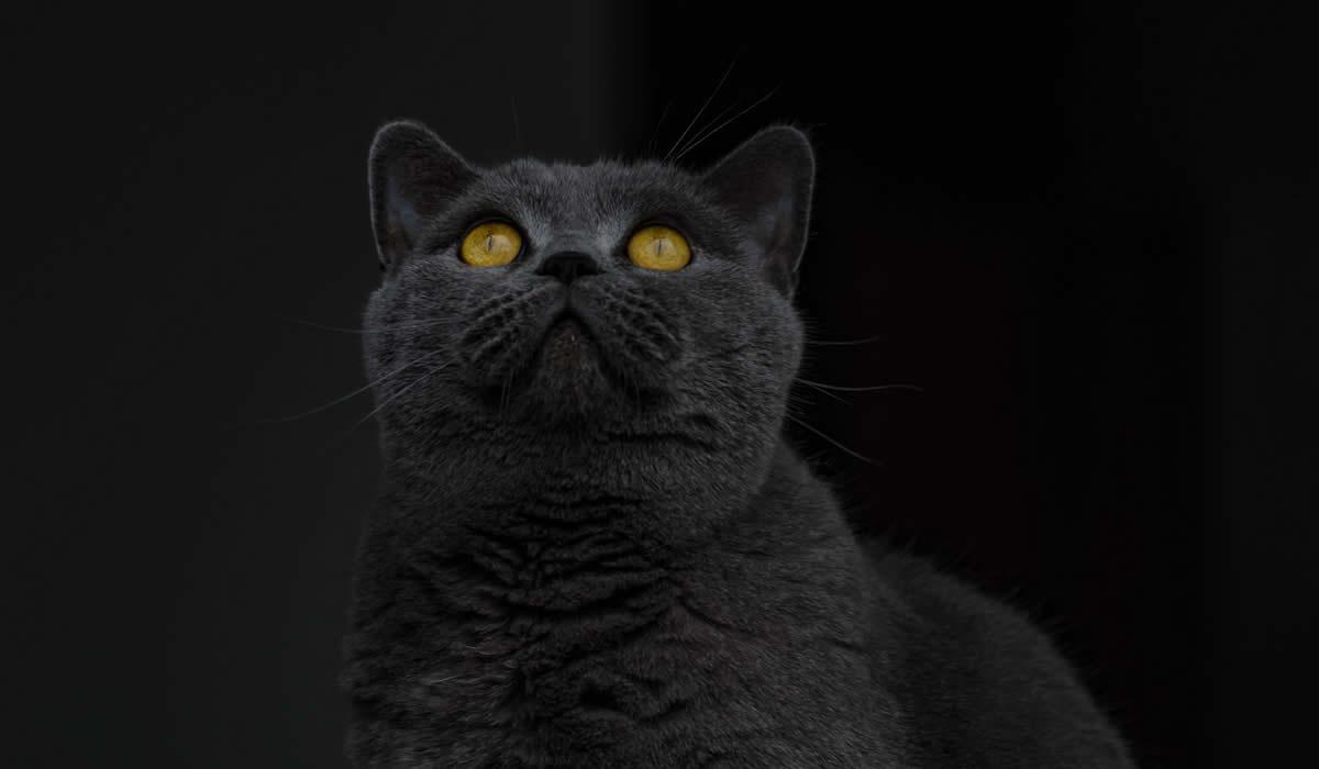 Informazioni sul carattere del gatto British