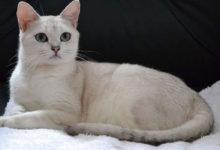 Informazioni fisiche e sul carattere del gatto Burmilla