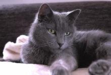 Prezzo e carattere del gatto Certosino