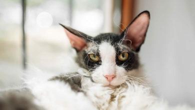Informazioni e caratteristiche sulla razza di gatto Cornish Rex