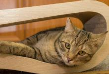 Caratteristiche e informazioni sulla razza di gatto europeo