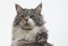 Informazioni su prezzo e caratteristiche del gatto Maine Coon