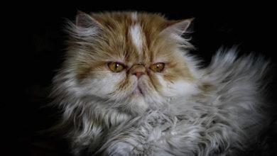 Informazioni e caratteristiche sul gatto Persiano