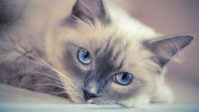 Informazioni, carattere e prezzo del gatto Ragdoll
