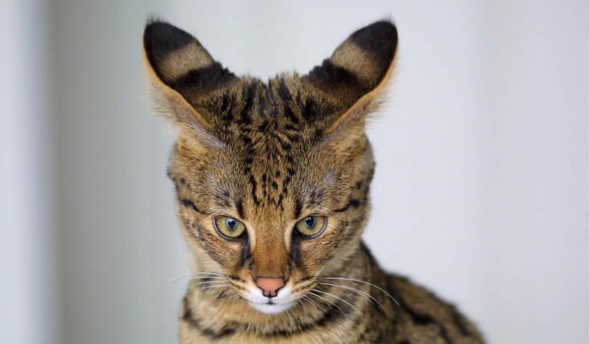Informazioni e caratteristiche del gatto Savannah
