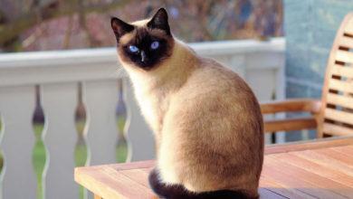 Informazioni su carattere e prezzo del gatto Siamese