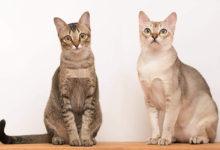 Informazioni sulla storia, carattere e prezzo del gatto Singapura