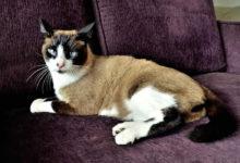 Informazioni e caratteristiche del gatto Snowshoe