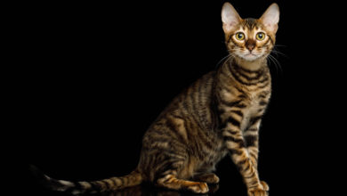 Informazioni, carattere e prezzo della razza di gatto Toyger