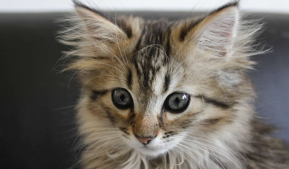 Prezzo del gatto Maine Coon
