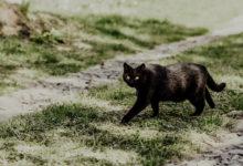Gatto nero superstizione e leggende del medioevo