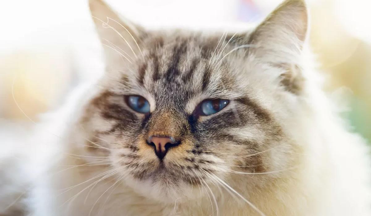Informazioni sulla razza di gatto Ragamuffin