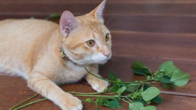 Ecco come riconoscere la vera erba gatta