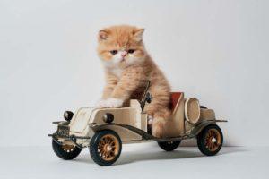 un micio su una piccola automobile