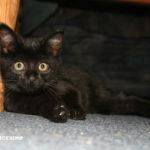 gatti neri immagini da scaricare