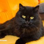 immagini gattini neri