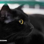 immagine di un gatto nero in primo piano