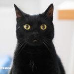 foto di un gatto nero in primo piano