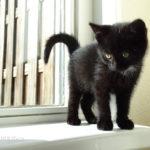immagini di bei gatti neri