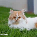 foto dei gatti persiani