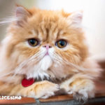 foto di alcuni gattini persiani