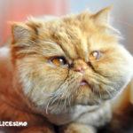 gatti persiani foto in primo piano