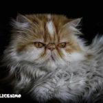 il gatto persianoe le immagini piu belle