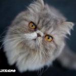 immagini di gatti persiani