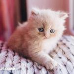 foto gatti persiani