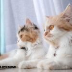 Due piccoli Persiani a casa
