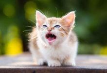 I gattini soffiano in diverse occasioni ecco quando