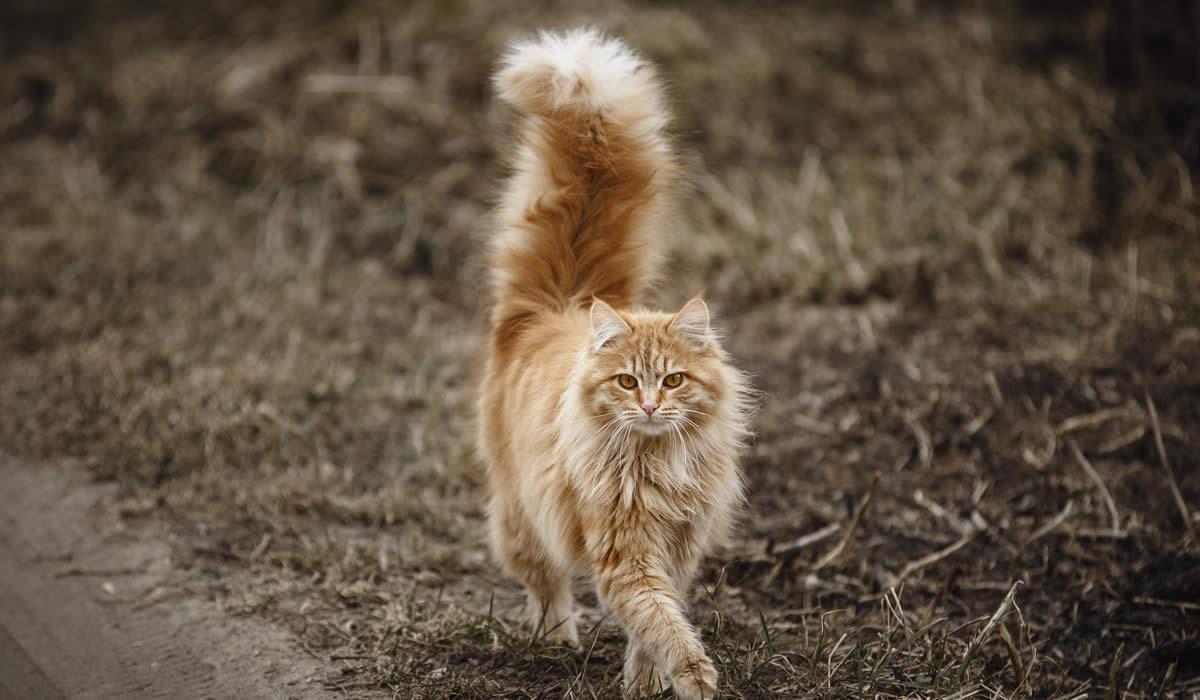 Come interpretare i movimenti della coda in un gatto