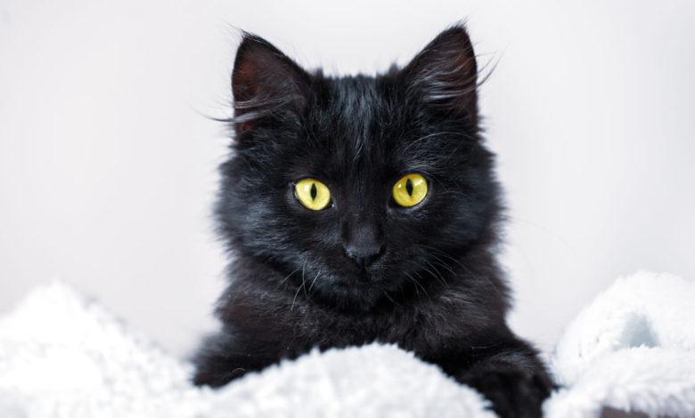 Suggerimenti curiosi e originali per nomi di gatti neri