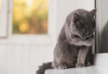 Consigli su come pulire le orecchie al gatto