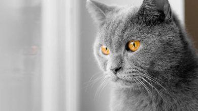 Le vibrisse sono i baffi dei gatti