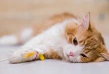 Come curare l'ascesso nel gatto