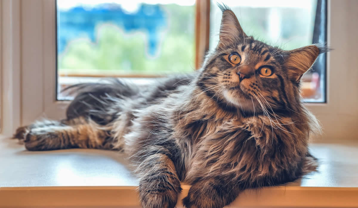 Il Maine Coon esempio perfetto di gatto gigante