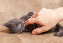 come capire se un gatto è maschio o femmina