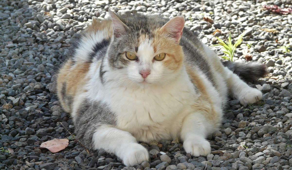 Il gatto è sovrappeso e deve fare la dieta